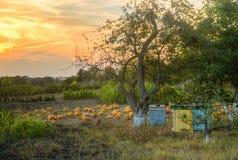 Ώριμες πορτοκαλιές κολοκύθες στο αγροτικό έδαφος Στοκ Φωτογραφίες