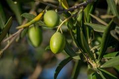Ώριμες πράσινες ελιές στο δέντρο Στοκ Εικόνες