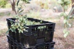 Ώριμες πράσινες ελιές που συλλέγονται στο κιβώτιο Στοκ Εικόνα
