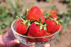 Ώριμες φράουλες σε ένα διαφανές φλυτζάνι Οι κόκκινες φράουλες είναι μεγάλα μούρα στοκ φωτογραφίες