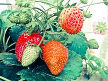 ώριμες φράουλες φύλλων Στοκ Φωτογραφία