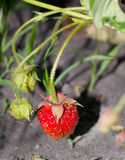 Ώριμες φράουλες που αυξάνονται στον κήπο Στοκ Εικόνες