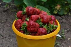 Ώριμες φράουλες σε έναν κίτρινο κάδο στοκ εικόνες