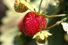 ώριμες φράουλες unripe Στοκ Εικόνα