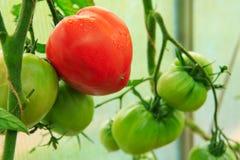 Ώριμες φυσικές μεγάλες ντομάτες Στοκ Φωτογραφία