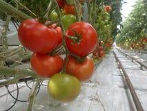 Ώριμες φυσικές ντομάτες που αυξάνονται σε έναν κλάδο στοκ εικόνα