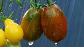 Ώριμες φυσικές ντομάτες στη βροχή απόθεμα βίντεο
