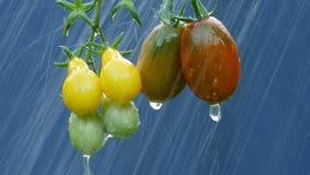 Ώριμες φυσικές ντομάτες στη βροχή φιλμ μικρού μήκους