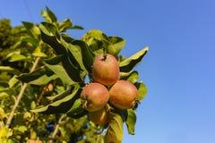 Ώριμη ένωση μήλων στο δέντρο Στοκ Φωτογραφία