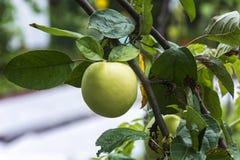 Ώριμη ένωση της Apple σε έναν κλάδο μεταξύ των πράσινων φύλλων Στοκ εικόνες με δικαίωμα ελεύθερης χρήσης