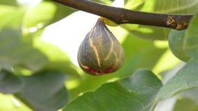 Ώριμη ένωση φρούτων σύκων στον κλάδο ενός δέντρου σύκων φιλμ μικρού μήκους