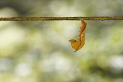 Ώριμη κάμπια του κοινού lascar hordo Pantoporia πεταλούδων Στοκ Εικόνες