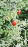 ώριμη ντομάτα φυτών Στοκ εικόνες με δικαίωμα ελεύθερης χρήσης
