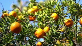 Ώριμη πορτοκαλιά ένωση στο δέντρο απόθεμα βίντεο