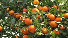 Ώριμη πορτοκαλιά ένωση στο δέντρο φιλμ μικρού μήκους