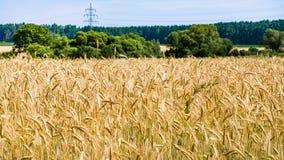 ώριμη σίκαλη στον τομέα Βαυαρία στη θερινή ημέρα στοκ φωτογραφία με δικαίωμα ελεύθερης χρήσης