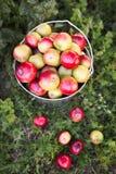 Ώριμη συγκομιδή μήλων στη χλόη Στοκ εικόνες με δικαίωμα ελεύθερης χρήσης