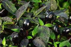 Ώριμη τσίλι πιπεριών καψικού Annuum ανάπτυξη μαργαριταριών varieta μαύρη στο θερμοκήπιο Στοκ φωτογραφία με δικαίωμα ελεύθερης χρήσης