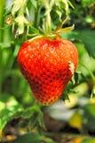 Ώριμη φράουλα στον κήπο Grandma ` s Στοκ φωτογραφία με δικαίωμα ελεύθερης χρήσης