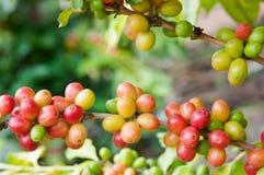 Ώριμη Arabica καφέ συγκομιδή στο δέντρο Στοκ Φωτογραφίες
