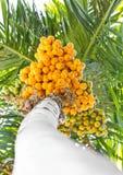 Ώριμη betel-nut (areca) δέσμη. Στοκ Εικόνα