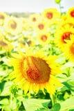 Ώριμοι ηλίανθοι στον ήλιο Στοκ εικόνες με δικαίωμα ελεύθερης χρήσης