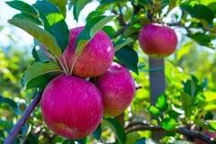 Ώριμοι καρποί των κόκκινων μήλων στους κλάδους των νέων δέντρων μηλιάς στοκ φωτογραφία με δικαίωμα ελεύθερης χρήσης