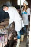 Ώριμοι κτηνίατροι στα άσπρα παλτά στο χοιροστάσιο Στοκ Φωτογραφία