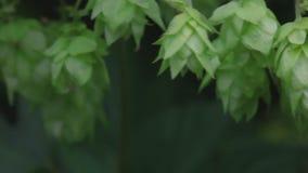 Ώριμοι κώνοι λυκίσκου στον κήπο λυκίσκου απόθεμα βίντεο