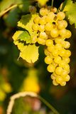 Ώριμος άσπρος αμπελώνας σταφυλιών ν το φθινόπωρο αμέσως πριν από τη συγκομιδή στοκ εικόνα