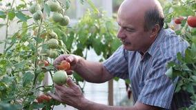 Ώριμος αγρότης ή κηπουρός στο θερμοκήπιο που ελέγχει την ποιότητα ντοματών του φιλμ μικρού μήκους