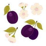 Ώριμος αποστραγγιζόμενος Ένα σύνολο στοιχείων Το λουλούδι δαμάσκηνων Απομονωμένη άσπρη ανασκόπηση διανυσματική απεικόνιση
