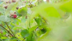 Ώριμος θάμνος σμέουρων μια ηλιόλουστη θερινή ημέρα Θάμνος σμέουρων σε έναν θερινό κήπο απόθεμα βίντεο