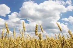 Ώριμος κίτρινος σίτος στο χρυσό τομέα ενάντια στο μπλε ουρανό με τα σύννεφα συνδυάστε την αποστολή φορτηγών φόρτωσης συγκομιδών σ Στοκ Εικόνες
