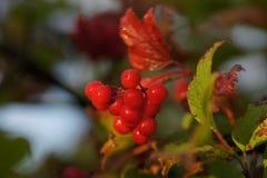 Ώριμος κόκκινος κλάδος του Rowan Στοκ φωτογραφία με δικαίωμα ελεύθερης χρήσης