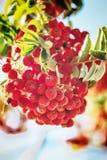 Ώριμος κόκκινος ashberry Στοκ φωτογραφία με δικαίωμα ελεύθερης χρήσης