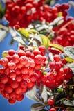 Ώριμος κόκκινος ashberry Στοκ εικόνα με δικαίωμα ελεύθερης χρήσης