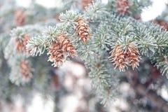 Ώριμος κώνος στον κλάδο μπλε fir-tree μπλε, πράσινος, άσπρος, μπλε ερυθρελάτες του Κολοράντο, Picea pungens που καλύπτεται με του Στοκ Εικόνες