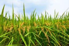 Ώριμος ορυζώνας ρυζιού Στοκ Εικόνες