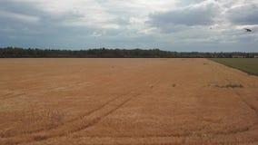 Ώριμος τομέας δημητριακών σε ένα νεφελώδες πανοραμικό μήκος σε πόδηα θερινής ημέρας απόθεμα βίντεο