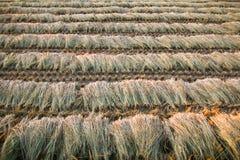 Ώριμος τομέας ρυζιού πτώσης Στοκ φωτογραφία με δικαίωμα ελεύθερης χρήσης