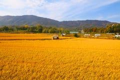 Ώριμος τομέας ρυζιού πτώσης Στοκ Εικόνες