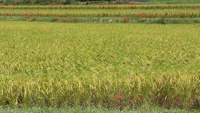 Ώριμος τομέας ρυζιού απόθεμα βίντεο