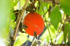 Ώριμος των νοτιοανατολικών ασιατικών φρούτων συνήθως ξέρω ως μωρό Gac jackruit Στοκ Εικόνες