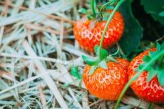 Ώριμος φρέσκος δέντρων οι φράουλες βάζοντας στο έδαφος σανού Στοκ Εικόνα