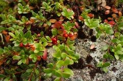 Ώριμος lingonberry σε έναν θάμνο στοκ φωτογραφίες με δικαίωμα ελεύθερης χρήσης