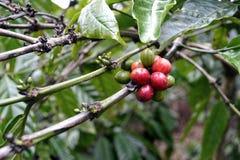 Ώριμος robusta σπόρος καφέ στοκ εικόνες