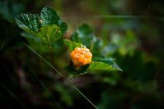 Ώριμο αρκτικό cloudberry στο φινλανδικό έλος Στοκ Φωτογραφίες