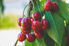 Ώριμο γλυκό κεράσι σε ένα δέντρο στη φύση στοκ εικόνα