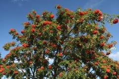 ώριμο δέντρο μούρων τέφρας Στοκ Εικόνες